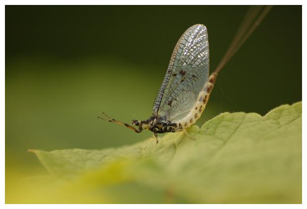 eendagsvlieg, haft (ephemera danica)