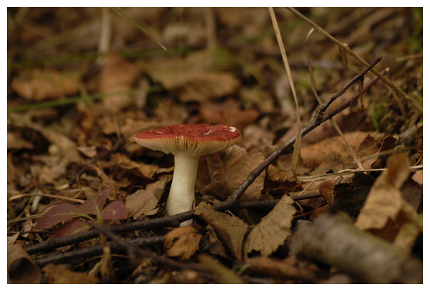 foto´s, Braakrussula (Russula emetica), paddenstoel