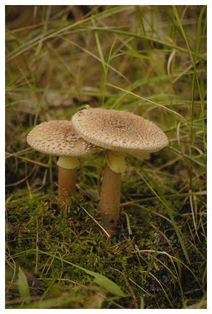foto´s, Parelamaniet (Amanita rubescens), paddenstoel