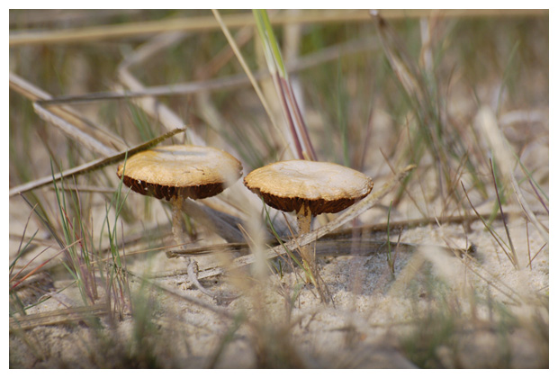 foto's, Duinfranjehoed (Psathyrella ammophila), paddenstoel