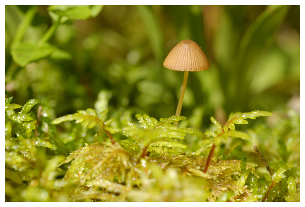 foto's, Bronsmos (Pleurozium schreberi), mos