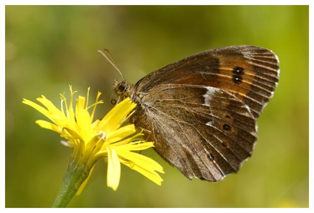 foto's, Boserebia (Erebia ligea), vlinder