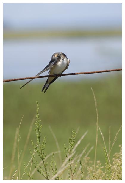 foto's, Boerenzwaluw (Hirundo rustica), zwaluw