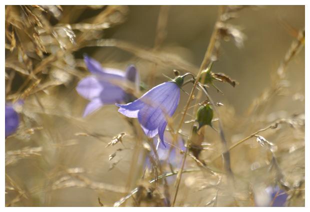 foto's, Grasklokje (Campanula rotundifolia), klokje