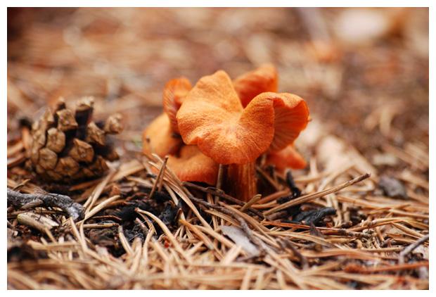foto's, Dennenvlamhoed (Gymnopilus penetrans), paddenstoel