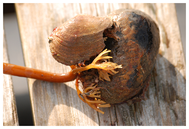 foto's, Suikerwier (Saccharina latissima synoniem: Laminaria saccharina), wier