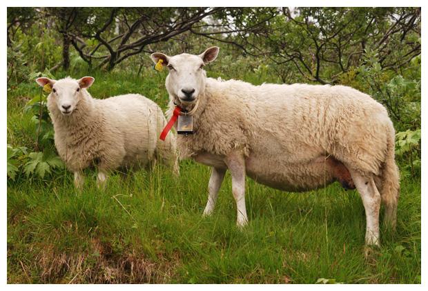 foto's, IJslanderschaap, schapenras, schaap (Ovis), dier