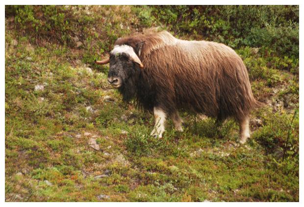 foto´s, Muskusos (Ovibos moschatus), Noorwegen