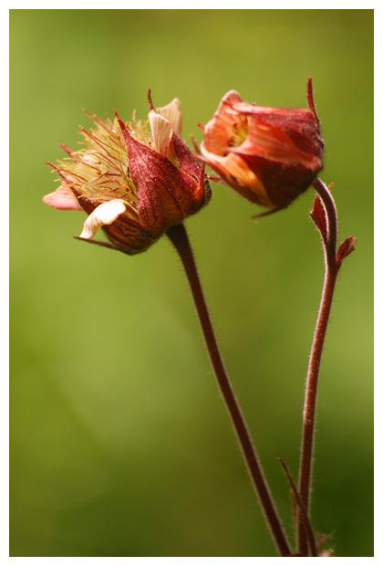 foto´s, Knikkend nagelkruid (Geum rivale), plant