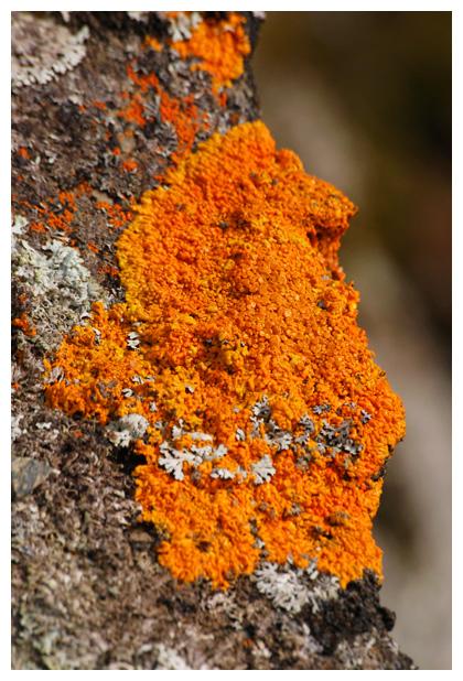 foto´s, Rood dooiermos (Xanthoria elegans), oranje korstmos