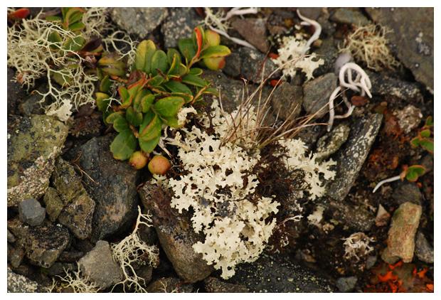 foto´s, (Cetraria nivalis), korstmos