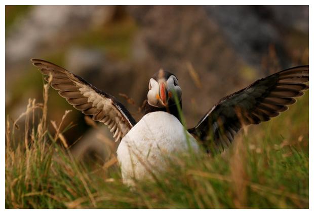 foto´s, Papegaaiduiker (Fratercula arctica), vogel