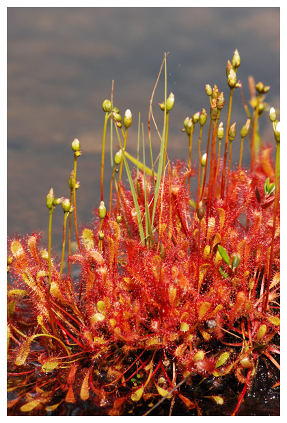 foto's, Lange zonnedauw (Drosera anglica), vleesetende plant