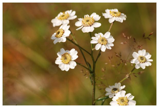 foto´s, Wilde bertram (Achillea ptarmica)