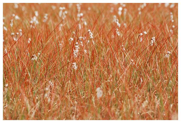 foto's, Veenpluis (Eriophorum angustifolium), witte pluisjes