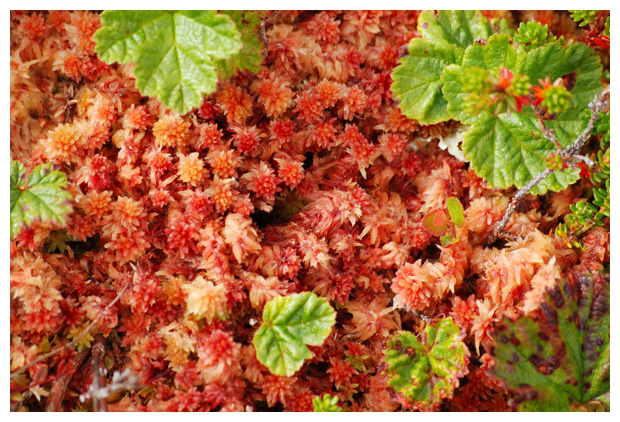 foto's, Rood veenmos (Sphagnum capillifolium subsp. rubellum), mos
