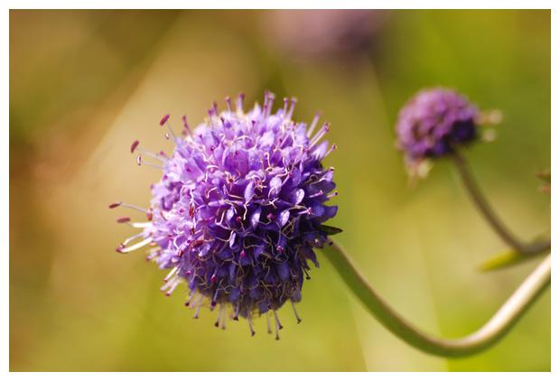 foto´s, Blauwe knoop (Succisa pratensis, synoniem: Scabiosa succisa)