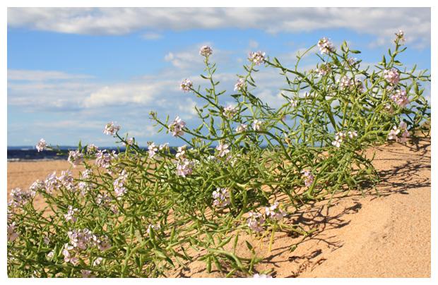foto's, Zeeraket (Cakile maritima), strand plant