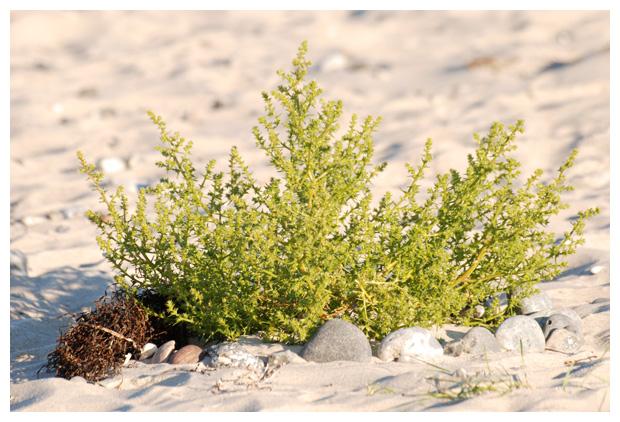 foto´s, Stekend loogkruid (Salsola kali), strand plant