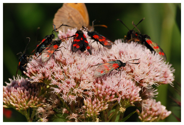 foto's, Sint-jansvlinder of bloeddropje (Zygaena filipendulae), nachtvlinder
