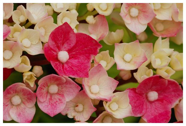 foto's, Hortensia (Hydrangea  macrophylla), plant