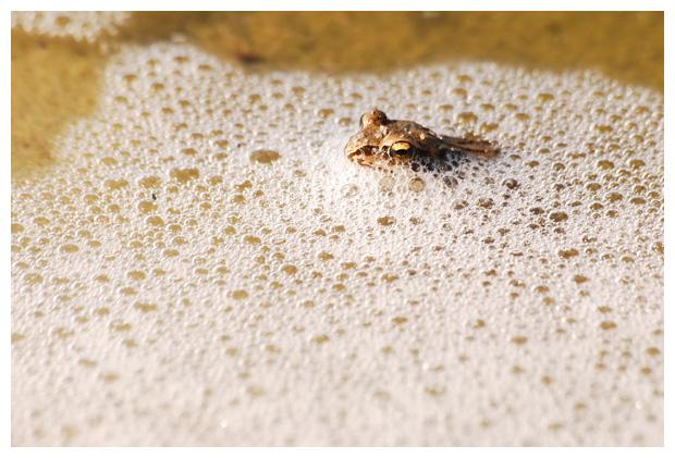 foto's, Bruine kikker (Rana temporaria), amfibie