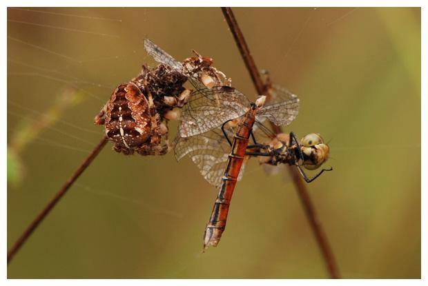 foto´s, Kruisspin (Araneus diadematus), spin