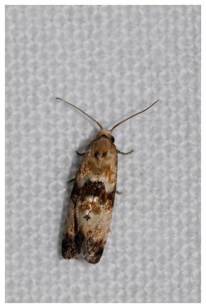 foto's, Gewoon smalsnuitje (Eupoecilia angustana), nachtvlinder