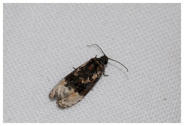 foto's, Berkenmarmerbladroller (Apotomis betuletana), nachtvlinder
