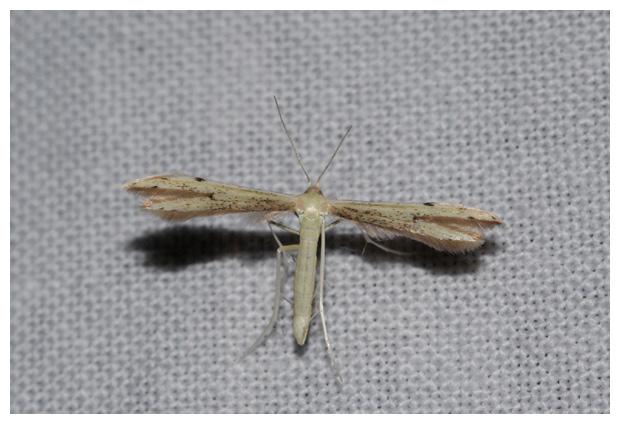 foto, Dwergvedermot (Adaina microdactyla), nachtvlinder