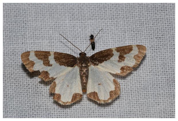 foto's, Gerande spanner (Lomaspilis marginata), nachtvlinder