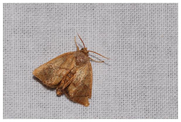 foto's, Slakrups (Apoda limacodes), nachtvlinder