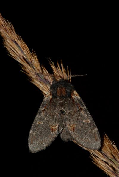 foto´s, Dromedaris (Notodonta dromedarius), nachtvlinder