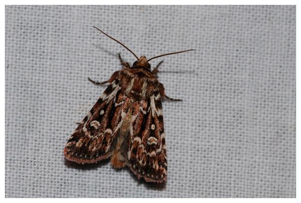 foto´s, Granietuil (Lycophotia porphyrea), nachtvlinder