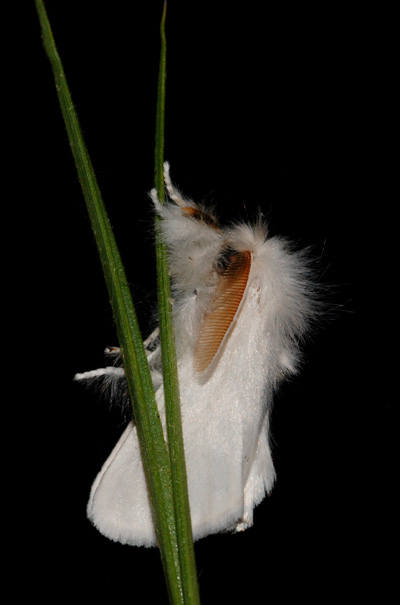 foto´s, Bastaardsatijnvlinder (Euproctis chrysorrhoea), nachtvlinder