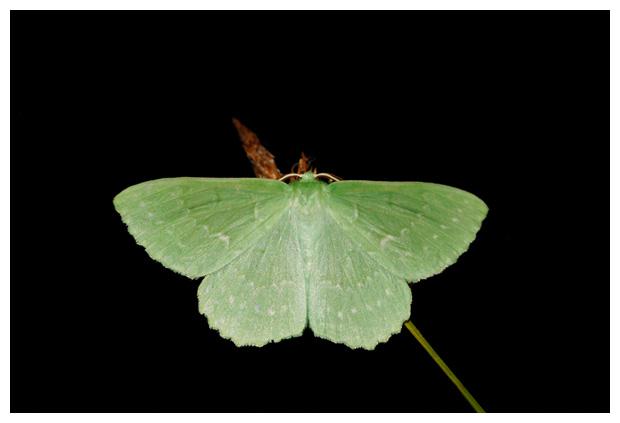 foto's, Zomervlinder (Geometra papilionaria), nachtvlinder
