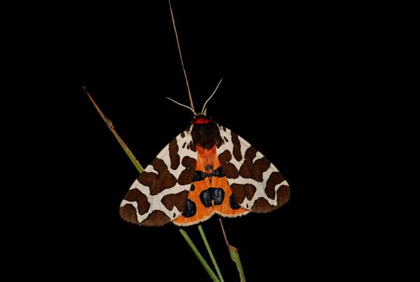 foto's, Grote beervlinder of grote beer (Arctia caja), vlinder