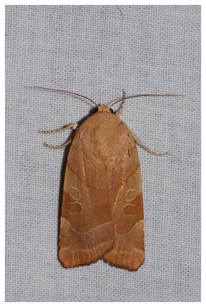 foto´s, Breedbandhuismoeder (Noctua fimbriata), nachtvlinder