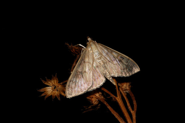 foto's, Parelmoermot, netelmot of gewone brandnetelmot (Pleuroptya ruralis), nachtvlinder