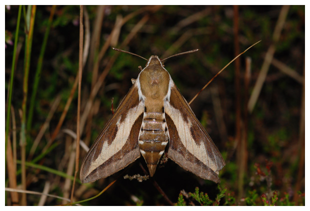 foto's, Walstropijlstaart (Hyles gallii), nachtvlinder