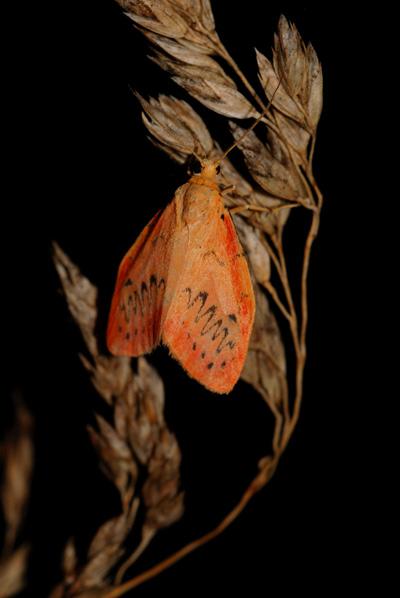 foto´s, Rozenblaadje (Miltochrista miniata), nachtvlinder