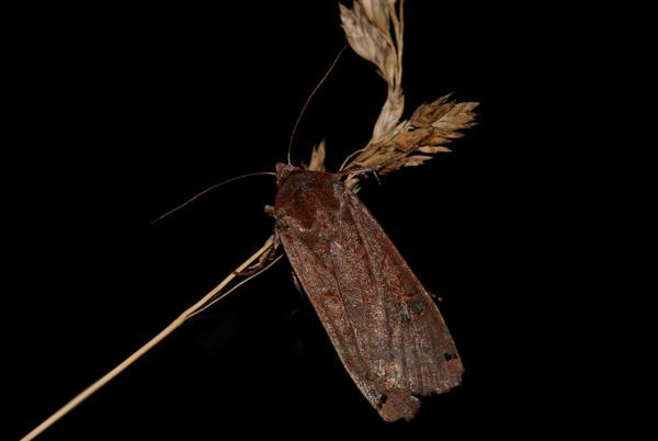foto´s, Bruine zwartstipuil (Xestia baja), nachtvlinder