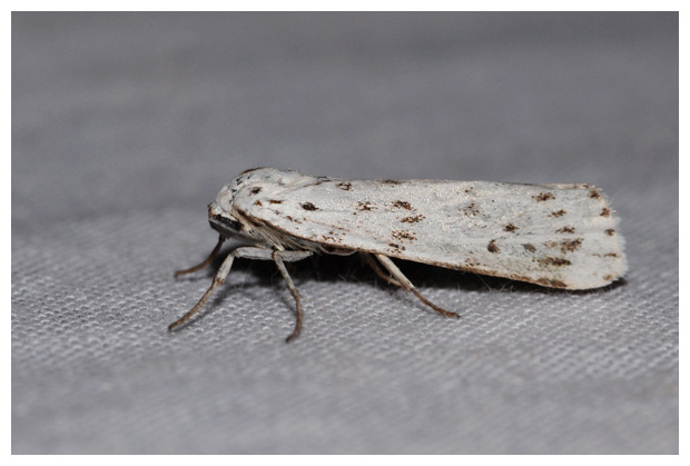 foto's, Grasbeertje (Coscinia cribraria), nachtvlinder