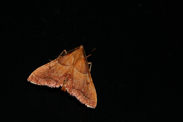 foto, Strooiselmot (Endotricha flammealis), nachtvlinder