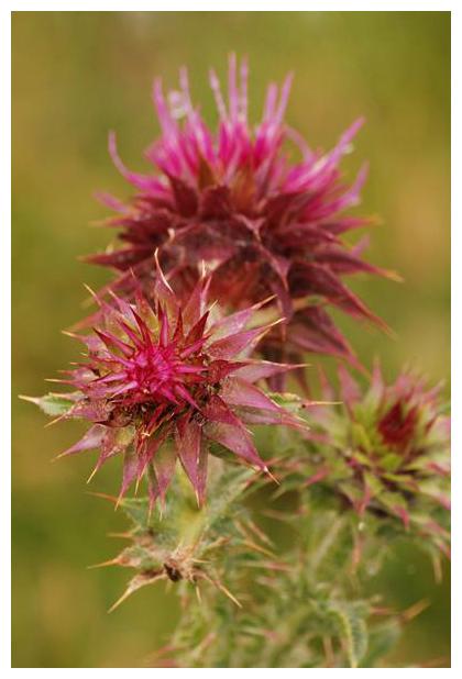 foto's, Knikkende distel (Carduus nutans), distel