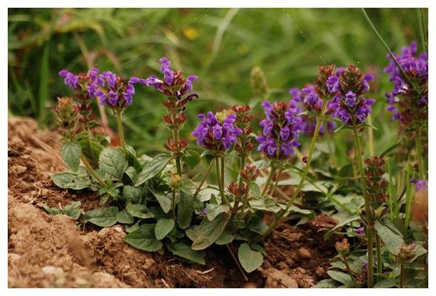 foto´s, Gewone brunel (Prunella vulgaris), plant