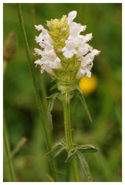 foto´s, Witte brunel (Prunella laciniatas), plant