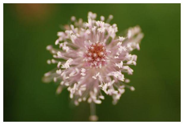 foto's, Ruige weegbree (Plantago media), plant