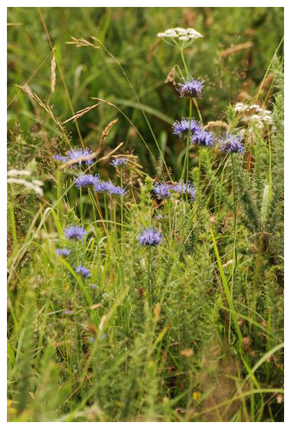 foto's Zandblauwtje (Jasione montana), plant
