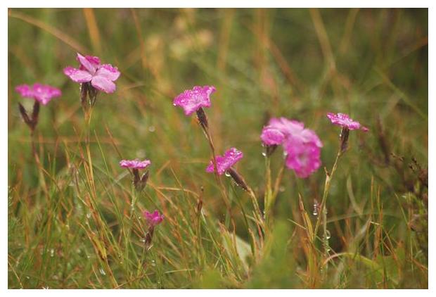 foto, Steenanjer, Zwolse anjer, Vechtdalanjer of Heideanjer (Dianthus deltoides), plant